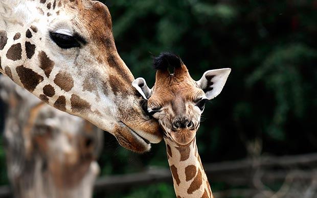 Wild life kiss: giraffes