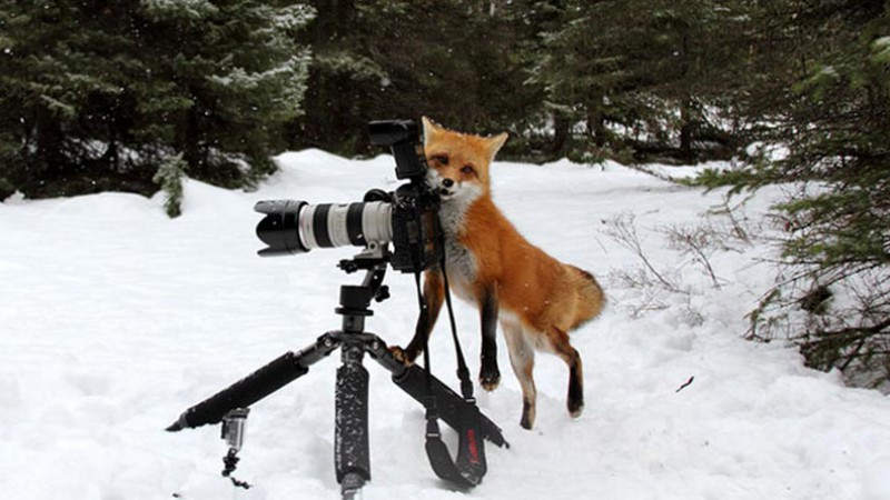 Fox with camera in winter
