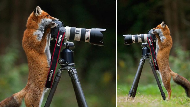 Fox with camera in the forest