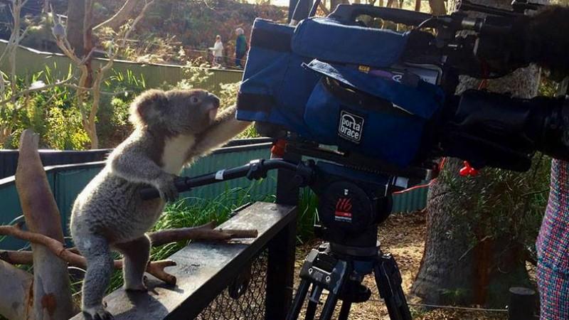 Koala bear with camera