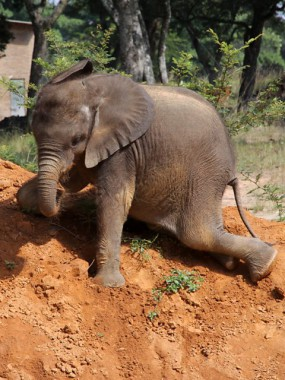 Moyo the baby elephant