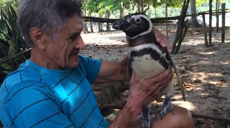 Penguin overcomes 8000+ km every year to meet his life-saver