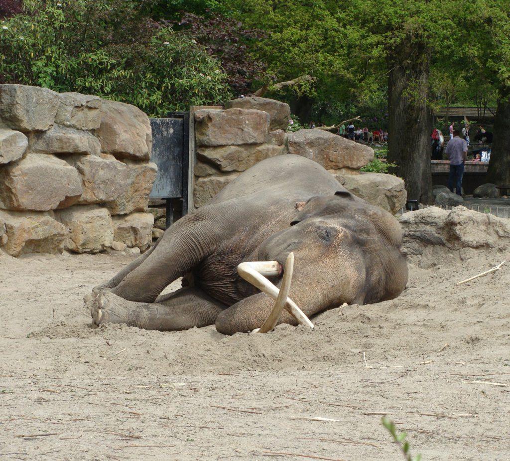 Resting elephant