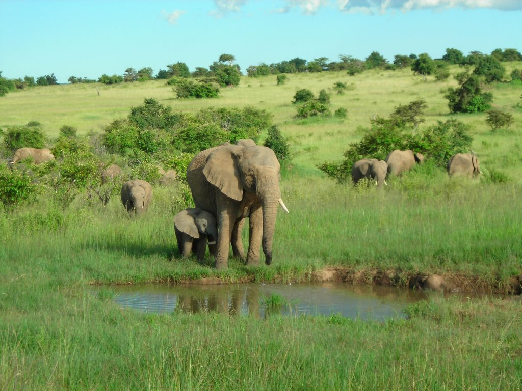 Herd of elephants at the watering, Kenya