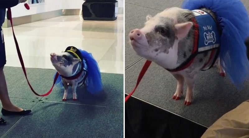 Airport employs pig to calm down anxious passengers