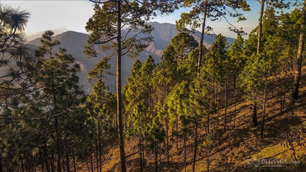 Pine trees on the way to Tehri, Uttarakhand (India)