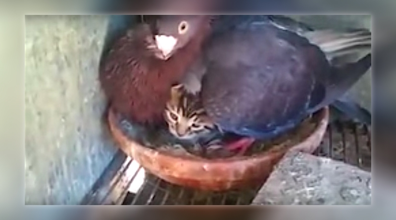 Pigeon-mama fiercely defends its adopted whiskered baby (Watch video)