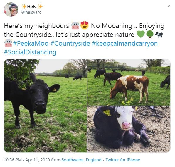 Farm cows observing social distancing
